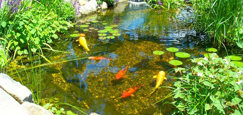 Summer Pond Maintenance Tips