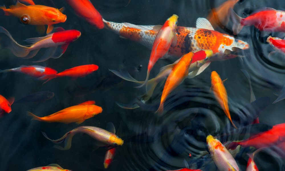 How Many Koi Can Live in My Pond?