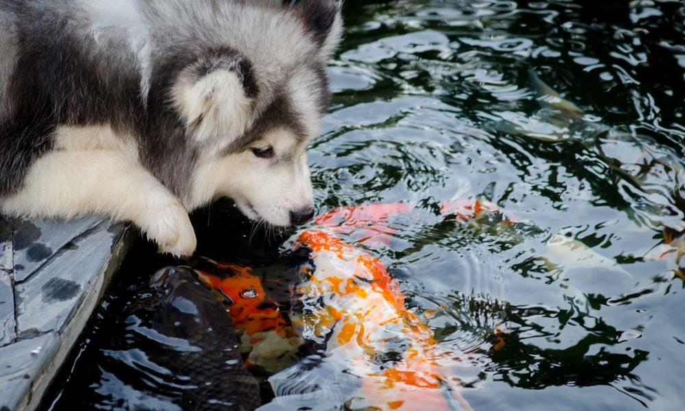 Will My Dog Eat My Koi Fish?