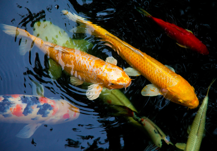 Uncategorized archives page 3 of 4 paradise ponds by for Can you eat koi fish