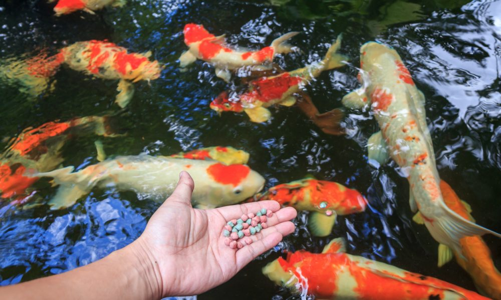 When Do I Stop Feeding my Pond Fish?
